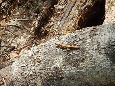 尻尾の切れたカナヘビ。