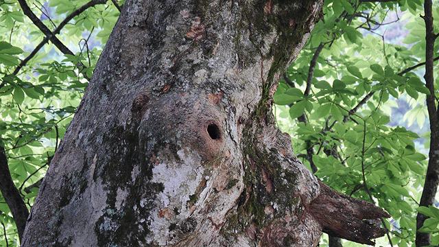 このような穴にムササビはいます