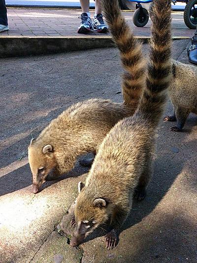 イグアス名物、ハナグマだそうです。かわいいけれど野生動物なので気を付けましょう。