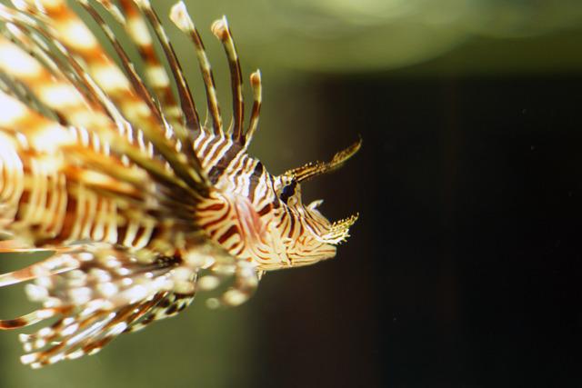 セビレや胸ビレに毒棘を持つ美しくてあぶない魚「ハナミノカサゴ」毒レベルは2だが相当痛い。