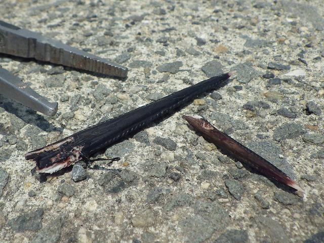 毒針。表面に粘り気のある毒液が分泌される。よく見るとノコギリの刃のような返しが無数についている。刺さったらさぞ悲惨だろうな…。