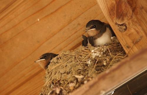 巣からはみ出しててかわいいですよねー。