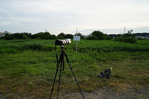 目の前のヨシ原にツバメ達が降りてくる。刺激しないように距離を取り、カメラをセッティング。