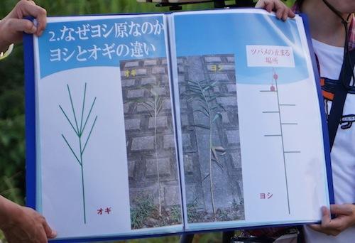 説明資料より。ヨシとよく似たオギという植物も混生しているが、しなやかで止まっても安定するヨシを選んで止まる。