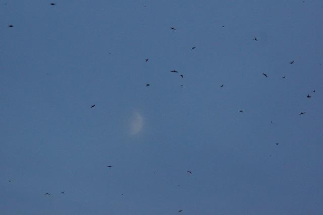 月と無数のツバメ。現実とは思えない光景。