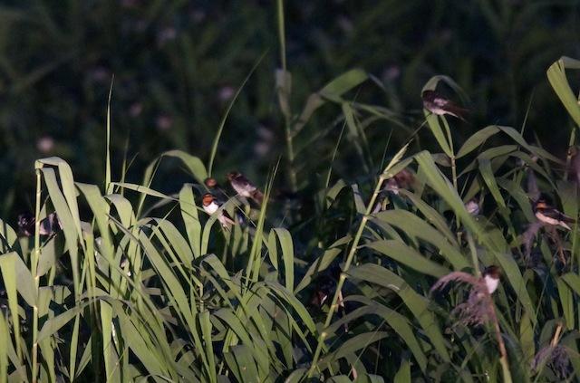 穂の部分を利用しているツバメもいる。