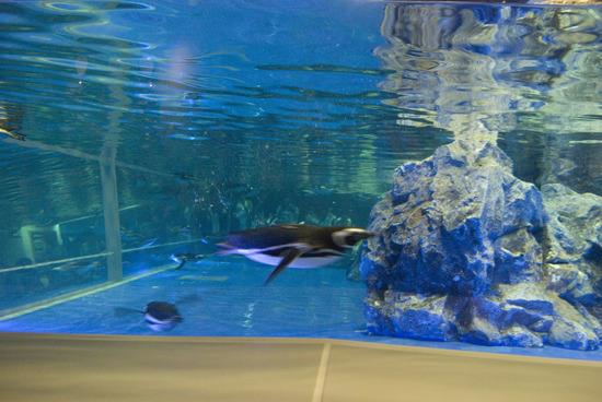 かぶりつきのペンギン