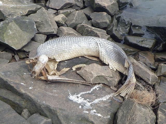 ガーの亡骸。死んで、乾ききって、バラバラになってもなお雰囲気がある魚ってそうそういないよね。