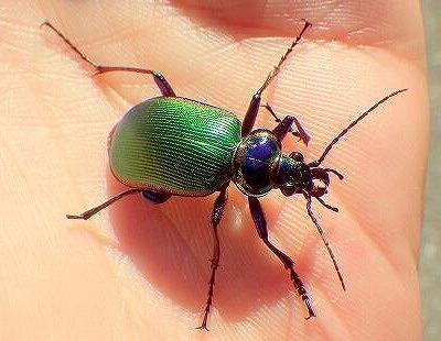 朝起きると洗濯物にとまっていたCalosoma scrutatorというカタビロオサムシの一種。翅は緑、脚や胸部は紫色に輝く。綺麗すぎる。