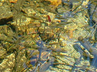 浅瀬にはアブラハヤがたくさん泳いでいた。夜になるとタキタロウは浅瀬に来て、これらを食べているのかもしれない。