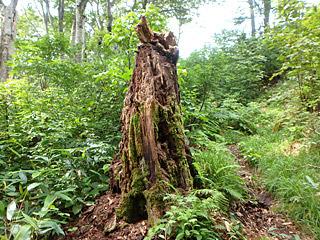 山小屋から30分くらいブナ林を歩いたところに、メスのタキタロウが住むといわれている三角池(みすまいけ)があるそう。