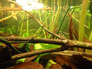 透明度はとても高いので、この池にもどこからか湧き水が流れ込んでいるのだろう。もしや秘密の地下水道を通じて大鳥池とつながっていて、そこを通ってタキタロウが…なんていう妄想がとまらない。