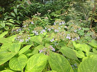 9月なのにアジサイの花が咲いていた。やっぱりタキタロウはいるな。