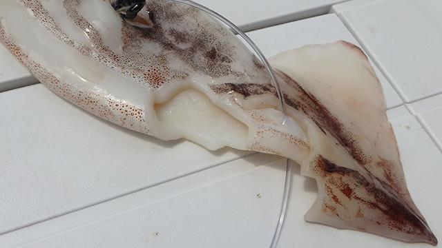 イカが齧られている!この歯形は…サメだ!!