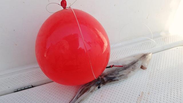 エサにはスルメイカ、ウキにはゴム風船を使う。