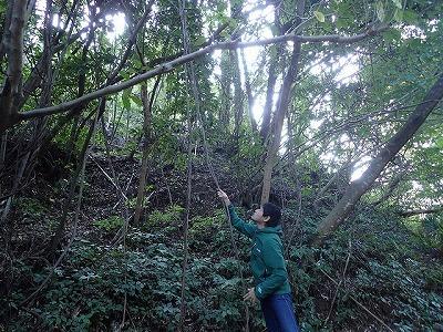 サルナシはつる植物。まずは樹木に絡む蔓を探し、葉っぱの形や実を確認していく。つる植物は意外と種類が豊富なので空振りも多い。