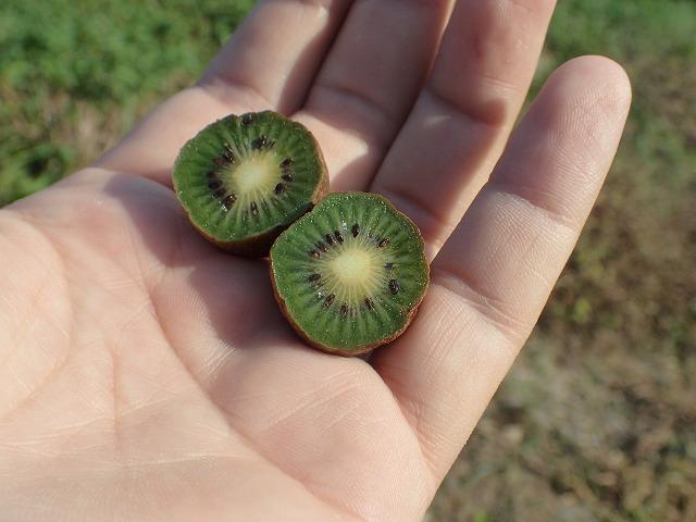 キウイだー!じゃなくてサルナシだー!正確にはシマサルナシだー!!(サルナシは熟すと果肉が黄色くなるが、シマサルナシはこの写真のように緑色のまま。)