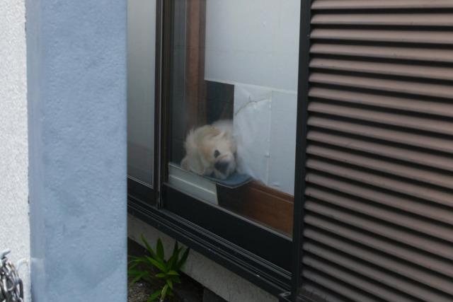 車窓犬シリーズや家から外を見る犬シリーズも最近の傾向。このわんちゃんは枕付きだったそうだが先日家が取り壊されてしまったとのこと。