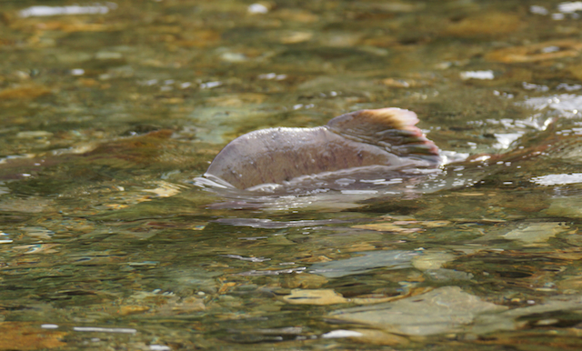 繁殖期の雄は背中が突起のように盛り上がる。浅瀬だと飛び出し過ぎたジョーズ。