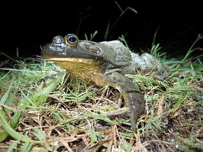 ウシガエルは夜行性の傾向が強い。水中から顔だけ出していることが多いが、こうして上陸していることも。チャンス。