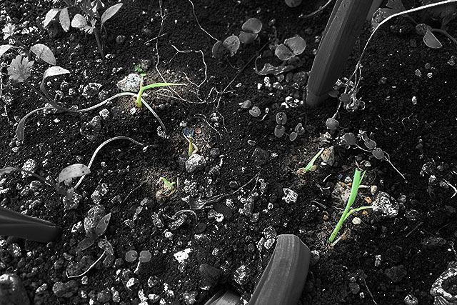 全てではないが根付いて育っている。玄米の生命力ってすごい。