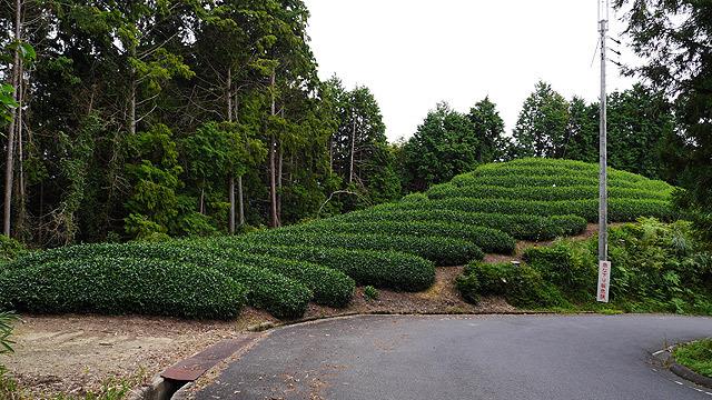 これは古墳っぽい茶畑