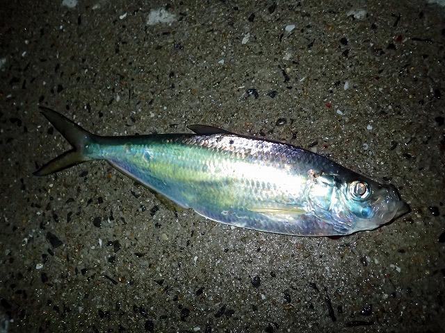 これが念願のヒラ。なかなか綺麗な魚だ。釣りたてのうちは魚体が青や紫にギラギラと輝く。