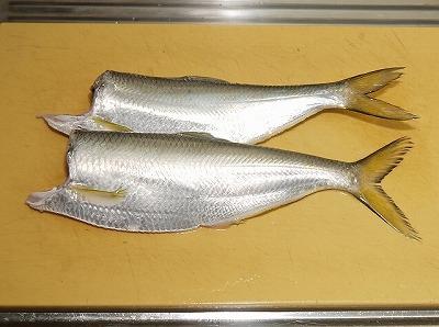 頭を落とすと異様に大きなサッパ(ママカリ)に見える(この写真ではあえて胸ビレを残しているが、本来は頭を落とす際にまとめて落としてしまってよい)。もうこの時点で確信できる。これは間違いなく美味い魚だ。