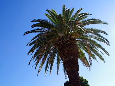 冬でも南国っぽい木。
