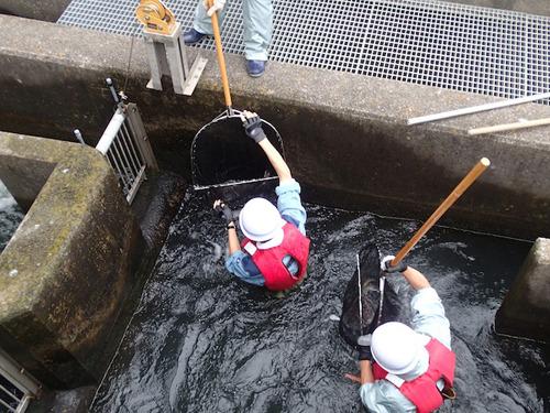 魚道に入ったスタッフがサケを捕獲!