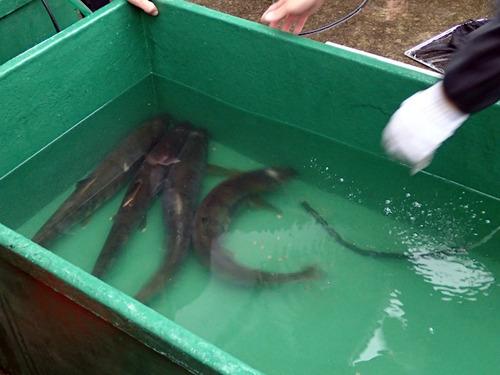 いったん容器に移される。とにかくでかい魚が間近で元気なのはすごい。