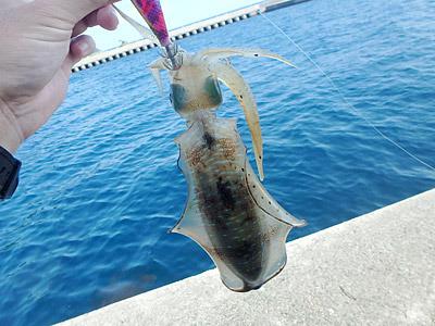 こちらは粟島で釣ったアオリイカ。イカのビラビラした部分は脚の間ではなく胴体部分にある。