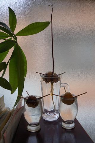 芋の写真ばかりでしたので、最後はやたら成長してきたうちの水栽培のアボカドの写真を掲載して終わります