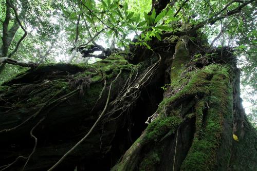 このような巨木といった、剥き出しの野生が迫りくる