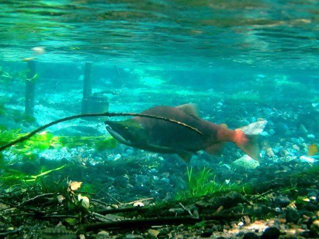 ようやく見つけたヒメマス(海に降りず、川と湖だけで一生を過ごすベニザケ)の雄。だが、期待よりも遥かに数は少ない。