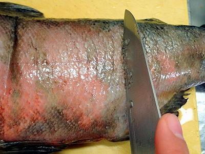 「ほっちゃれ」のマスは鱗がなかなか剥がれない。鱗が表皮に密着して鎧のようになっているのだ。