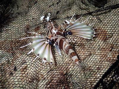キリンミノという魚。綺麗なのでつい捕まえてみたくなるが、背ビレに毒があるので注意。