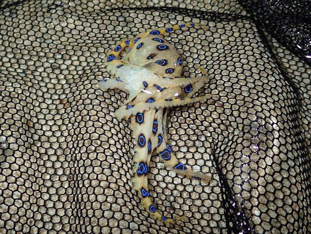 さらに棒で小突くなどして刺激すると、全体が黄色みを帯びて一層派手に。これは綺麗だ。