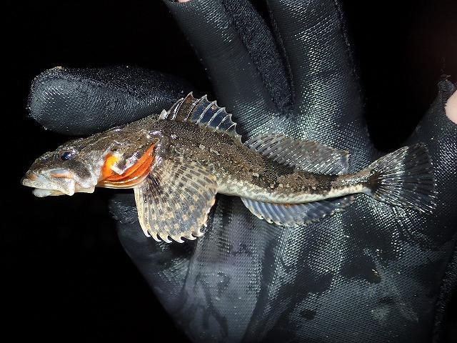 広げたヒレもかっこいい。これだけはっきりオレンジ色が入っている日本産の川魚ってそうそういない。