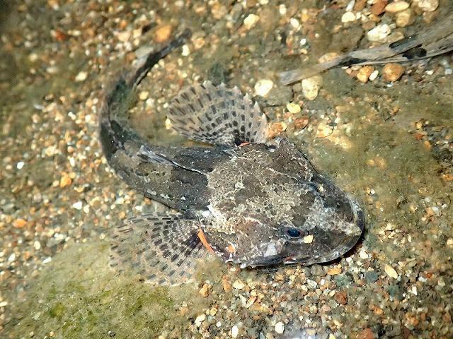 捕まえたヤマノカミは撮影後に逃がしてやったが、威嚇したまま固まってしまい、なかなか泳いで行かなかった。