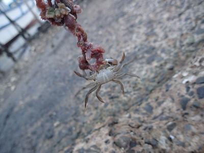 カニなら簡単に釣れた。でもザリガニも針無しの仕掛けで釣れるので、これはそう不思議でもない。