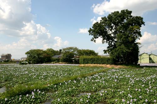遺構は地味だが、ホテイアオイの花が綺麗なので選外とした「本薬師寺」。奈良市の西ノ京にある薬師寺は、飛鳥時代にはここにあったのだ