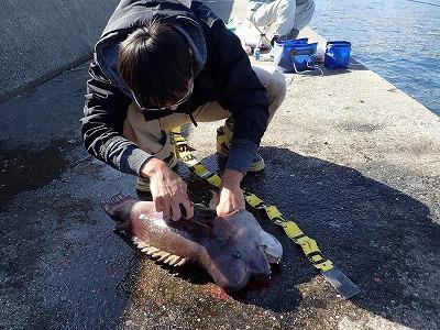 釣ったその場で血と内臓はしっかり抜き去っておく。