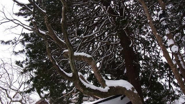 雪が乗ってさらに生き生きと見える枝