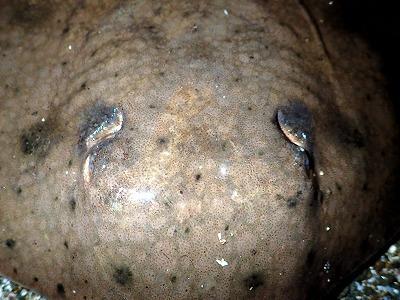 一見すると眼のように思える頭部のくぼみは噴水孔という器官。ここから水を取り込んで鰓へ通し、呼吸する。