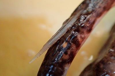 毒針を接写。他のエイと同じく、縁に鋸刃状に返しがついている。