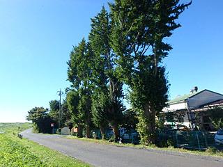 北海道っぽいけど埼玉、ポプラっぽいけどイチョウの木。