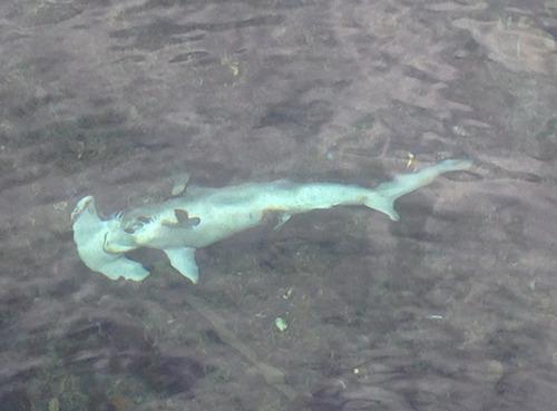 シュモクザメの死骸が…