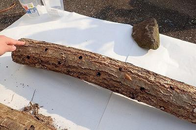 このホダ木はまだそこそこ新しいらしく、妙に綺麗。虫っ気をあまり感じないが…。持ってみるとずっしり重く、他の二本に比べて中身が詰まっている感じ。クヌギの幹か?