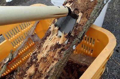 樹皮の下を見終えたら、鍬や鉈で少しずつ慎重に削る。虫はデリケートだ。